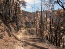 在2016年火非常毁坏的马德拉岛的世界遗产森林 一些树有生活极大的意志并且生存了此 免版税图库摄影