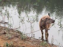 在水库旁边的水牛婴孩 库存照片