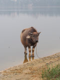 在水库旁边的水牛 免版税库存图片
