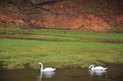 在水库湖的白色天鹅游泳在剧痛Ung的 库存照片