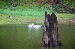 在水库湖的白色天鹅游泳在剧痛Ung的 免版税库存照片