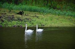 在水库湖的白色天鹅游泳在剧痛Ung的 免版税图库摄影