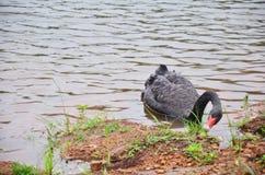在水库湖的黑天鹅游泳在剧痛Ung的 库存照片