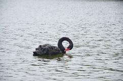 在水库湖的黑天鹅游泳在剧痛Ung的 免版税库存照片