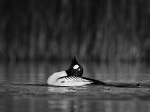 在水弯曲的脖子的金黄眼睛鸟 库存照片