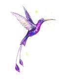 在水彩的热带淡紫色鸟 免版税库存图片