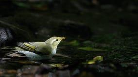 在阴影森林小河附近的森莺 图库摄影
