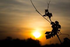 在黑阴影的叶子葡萄 库存图片