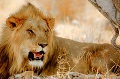 在阴影的狮子 免版税库存图片