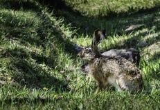 在阴影的野生兔子 免版税库存图片