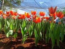 在阴影网下的郁金香种植园 免版税图库摄影