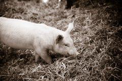 在寻找食物的干草的小猪 库存图片