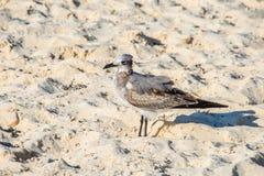 在寻找食物的海滩沙子的海鸥 地点:Playa台尔Carm 免版税库存图片
