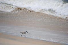 在寻找食物的海滩附近的鸟 库存图片