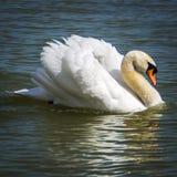 在巴拉顿湖的天鹅 库存照片