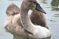 在巴拉顿湖的幼小天鹅 免版税库存照片