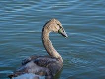 在巴拉顿湖的幼小天鹅 免版税库存图片
