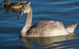 在巴拉顿湖的幼小天鹅 库存照片