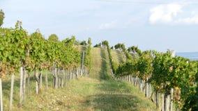 在巴拉顿湖,匈牙利北部的葡萄园 库存照片