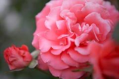 在绽放和被弄脏的玫瑰花蕾的美丽的软的桃红色玫瑰 免版税图库摄影