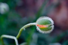 在绽放春天充满活力的五颜六色的红色和橙色自然户外植物特写镜头细节的鸦片芽 免版税库存图片
