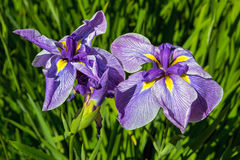 在绽放特写镜头的紫色西伯利亚虹膜 免版税库存图片