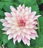 在绽放的一朵浅粉红色的大丽花 免版税库存图片