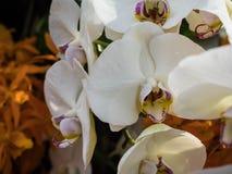 在绽放的一朵白色兰花植物蝴蝶兰花 库存照片