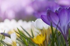 在绽放的一朵紫色番红花 免版税图库摄影