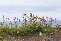 在绽放的三叶草在海边 免版税图库摄影