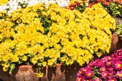在绽放的五颜六色的雏菊菊花花 库存图片