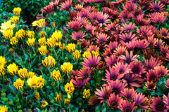 在绽放的五颜六色的非洲雏菊花 免版税库存图片