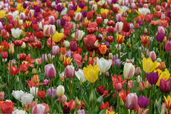 在绽放的众多的公共可访问的郁金香领域 荷兰春天Keukenhof 免版税库存照片
