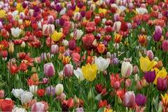 在绽放的众多的公共可访问的郁金香领域 荷兰春天Keukenhof 库存照片
