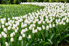 在绽放的众多的公共可访问的领域在荷兰春天Keukenhof庭院里 库存照片