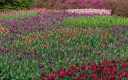 在绽放的众多的公共可访问的领域在荷兰春天Keukenhof庭院里 免版税库存图片