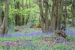 在绽放的会开蓝色钟形花的草 库存图片