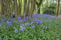在绽放的会开蓝色钟形花的草 库存照片