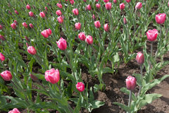 在绽放的充满活力的桃红色郁金香在4月 图库摄影