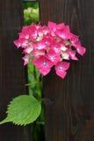 在绽放的八仙花属 图库摄影