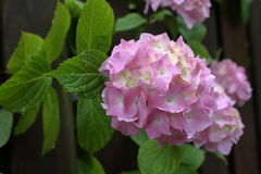 在绽放的八仙花属 库存照片