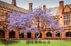 在绽放的兰花楹属植物在悉尼大学 免版税库存照片