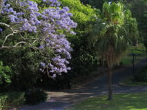 在绽放的兰花楹属植物树在公园 库存照片