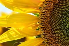 在绽放的向日葵 库存图片
