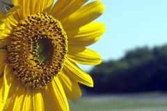 在绽放的向日葵 免版税库存照片