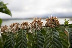 在绽放的咖啡树 库存照片