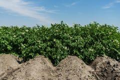 在绽放的土豆领域 免版税图库摄影