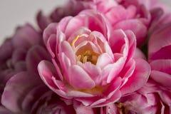 在绽放的宏观花桃红色郁金香 库存图片