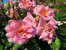在绽放的强的桃红色玫瑰与黄色雄芯花蕊 图库摄影
