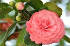 在绽放的明亮的桃红色日本山茶花花 库存图片